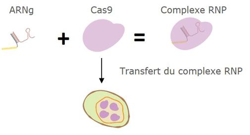 CRISPR/CAS9 : Protéines Cas9 recombinantes de haute pureté