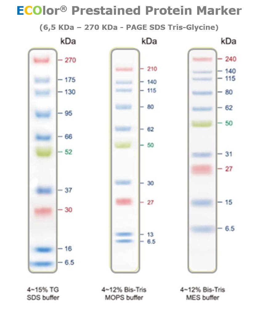 Ecolor prestained protein marker