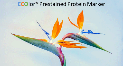 Marqueur - ECOlor® Prestained Protein Marker